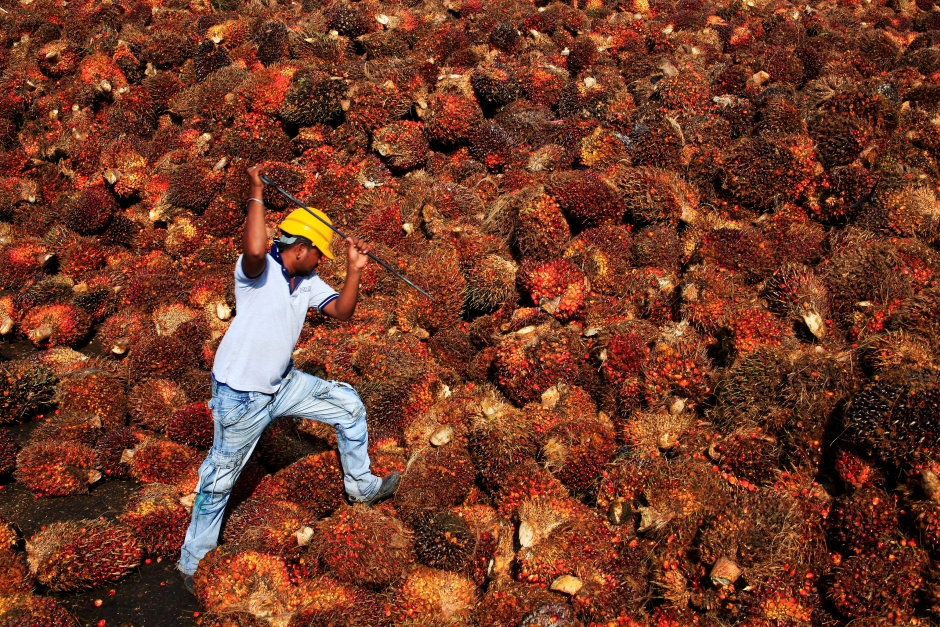 A file photo of a worker collecting palm oil fruit at a factory in Sepang, on Feb 18, 2014. u2013 Reuters