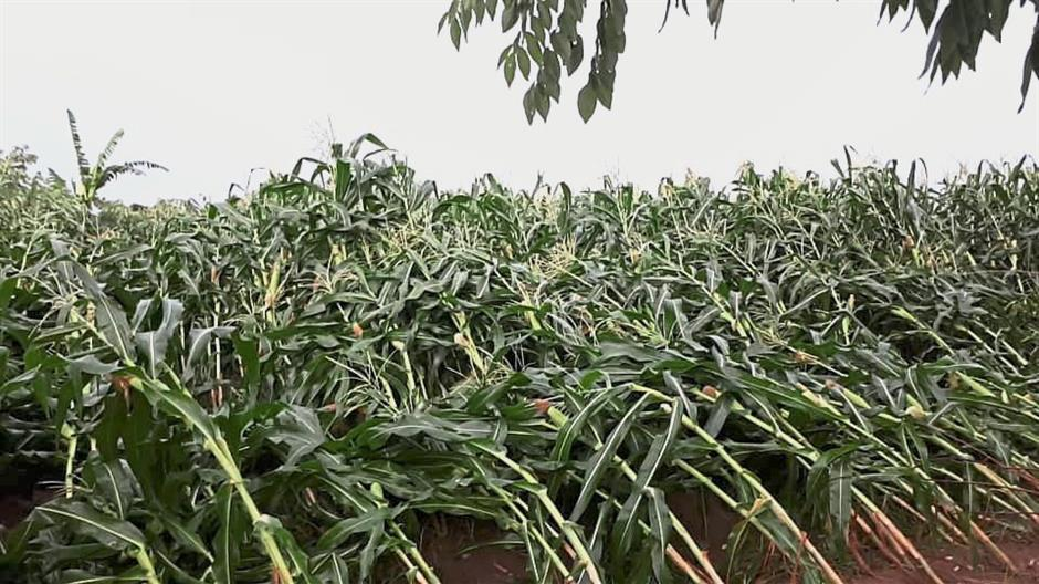 Strong winds on Thursday night destroyed a lot of corn plants in Kampung Baru Bidor Stesyen.