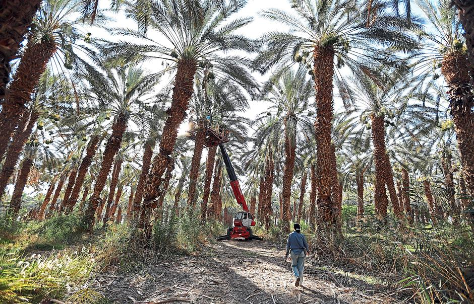 Date trees flourish in the desert of Arava, thanks to drip irrigation. Photo: TNS