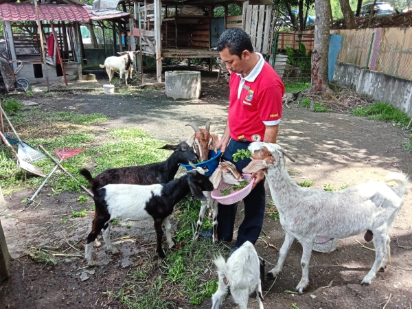 SMK Bandar Baru Sungai Long teacher Bahador Kamis feeding the goats with herbs plucked from the school garden. The goats are being reared in the school compound.