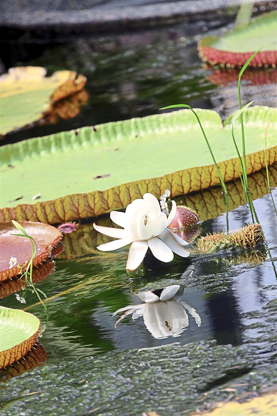Amazon water lily bowls one over with its size and purity.