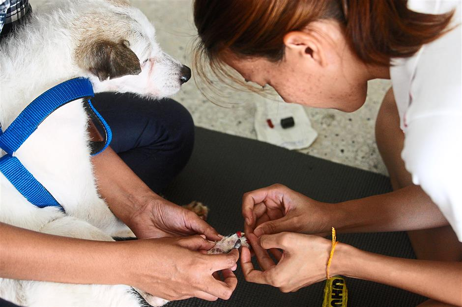 Chik fixing toe-grips on older dog. Toe-grips in the form of small rubber rings, are designed for senior and special-needs dogs to provide grip, preventing them from slipping on floors and stairs.