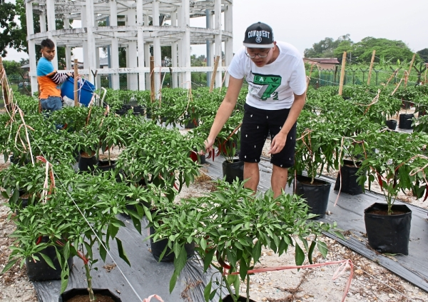 Intellectually disabled youths busy tending to chillies at their garden in Puchong.