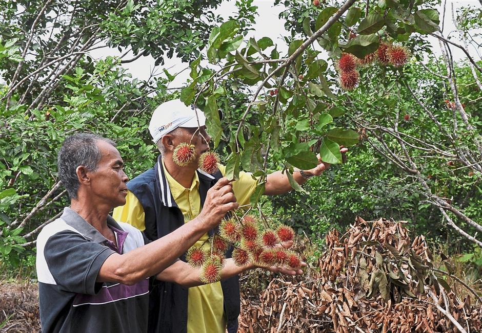 SRI AMAN, 23 Jan -- Pekebun rambutan Bright Kichen (kiri) memeriksa rambutan Anak Sekolah yang ditanam di ladangnya di Rumah Helary, Nyelam dekat sini.Lebih 10 penduduk di situ mula menanam rambutan Anak Sekolah sejak lapan tahun lepas, namun pada 2017 hanya tinggal lapan orang masih menanam pokok-pokok buah tempatan tersebut di ladang penempatan masyarakat Iban yang terletak kira-kira 30 kilometer dari bandar Sri Aman.-- fotoBERNAMA (2018) HAK CIPTA TERPELIHARA