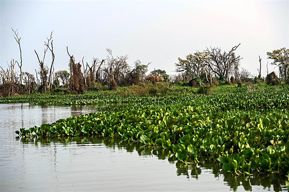 The Pantanal wetlands is a sanctuary for migratory birds, nursery grounds for aquatic life, and refuge for such creatures as the yacare caiman, deer and jaguar.