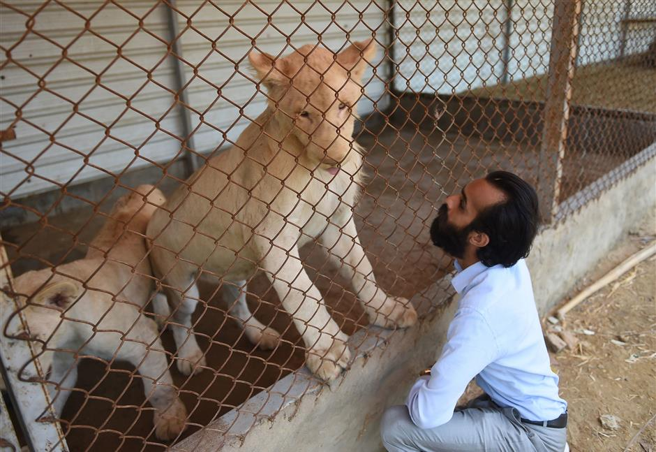 In this picture taken on May 20, 2019, Bilal Mansoor Khawaja, a private zoo owner, looks at his white lions in Karachi. - Pakistani laws make it easy to import exotic animals, but once inside the country regulation is almost non-existent. (Photo by Rizwan TABASSUM / AFP) / TO GO WITH Pakistan-animals-wildlife, FEATURE by David STOUT