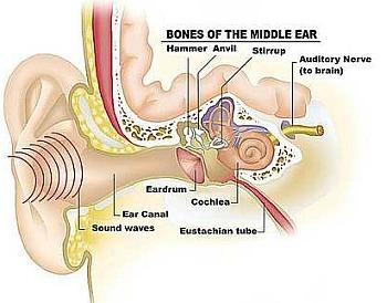 sf_05middle_ear