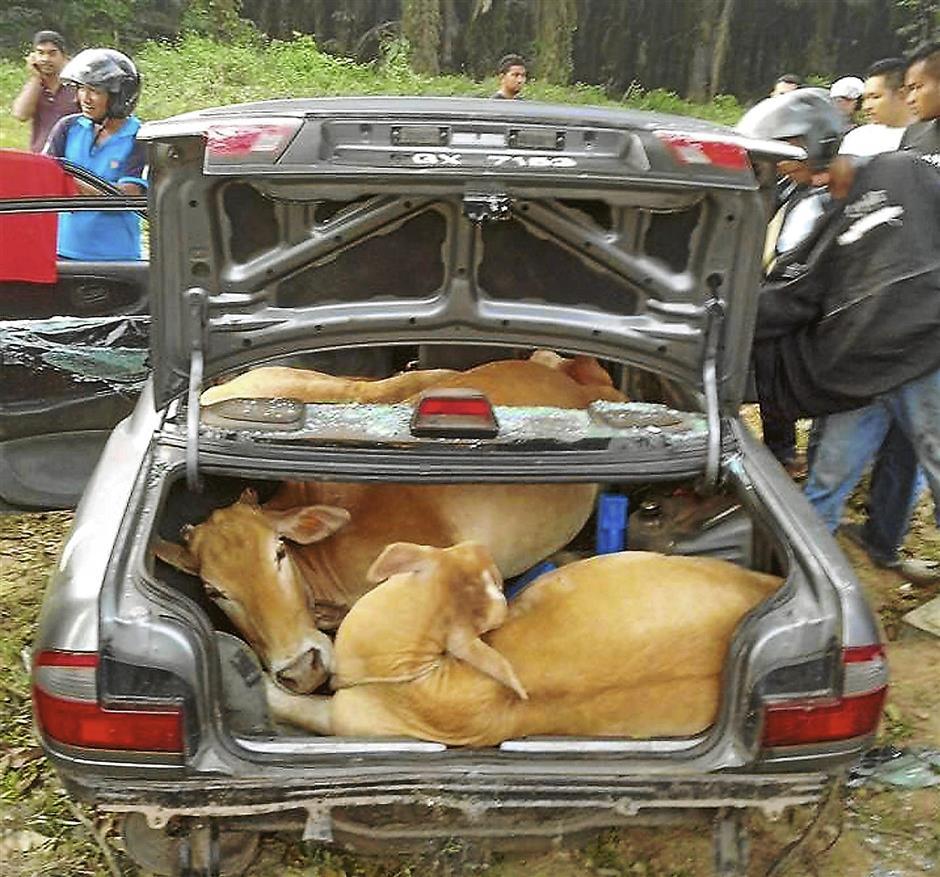 KULIM, 5 Jan -- KEJAM... Dua lelaki terpaksa meninggalkan sebuah kereta Proton Wira yang membawa empat ekor lembu yang dipercayai dicuri dari sebuah kandang ternakan, di Sungai Lembu, Bukit Mertajam selepas kereta tersebut mengalami kerosakan di Kampung Siam, Sungai Seluang, Lunas dekat sini awal pagi tadi.Orang ramai yang mempunyai maklumat mengenai kedua-dua suspek diminta menghubungi Ketua Bahagian Siasatan Jenayah Ibu Pejabat Polis Daerah (IPD) Kulim, Asisten Supt C. Tharmalingam di talian 04-4906222 atau membuat laporan di balai polis berhampiran.--fotoBERNAMA (2014) HAKCIPTA TERPELIHARA