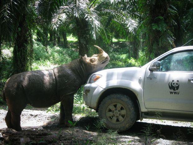 Tam was first sighted at the Kretam plantation in Lahad Datu, Sabah in 2009. Photo credit: WWF-Malaysia / Richard Sanggul]