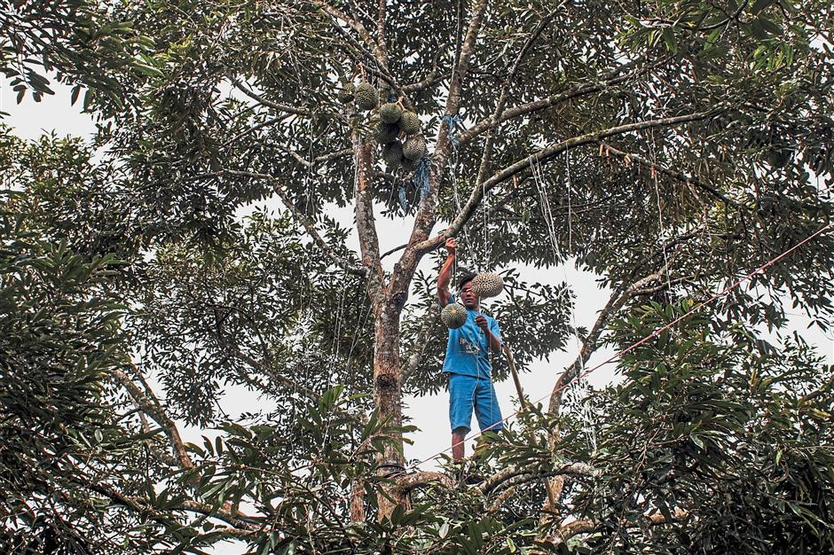 A worker uses string to lower a Musang King durian down from a tree at the Raub Durian Orchard in Raub, Pahang, on Sunday, Nov. 29, 2017. China's love of a pungent, football-sized thorny fruit is skyrocketing, and Malaysia wants a piece of it. Thailand dominates that market, but Malaysian politicians are counting on durian diplomacy to expand access beyond frozen fruit pulp. Photographer: Rahman Roslan/Bloomberg