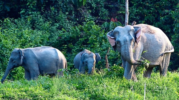 Into the wild: Asian elephants grazing along the river in Ulu Muda are an important part of the forest ecosystem. — ZAINUDIN AHAD/The Star