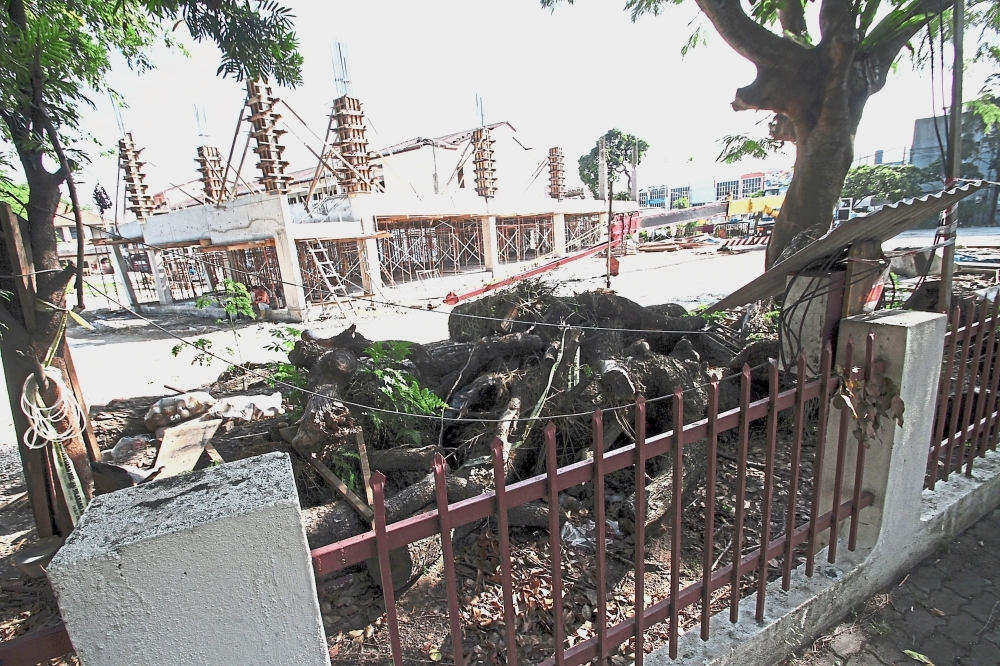 The 100-year-old raintree is being relocated to make way for two new school blocks. Some of its branches have already been chopped.