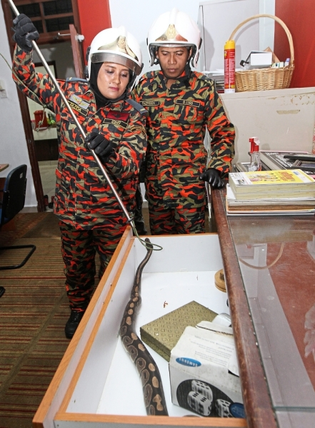 Easy does it: Noor Fazida Tina showing how to remove a python from an office drawer.