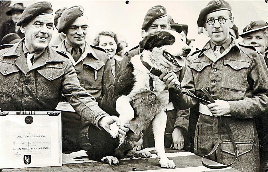 Dogs being used for war. This Crossbred collie dog named Rob, that made over 20 parachute jumps while on secret war-work, and took part in the North African landings. The animal was presented with the Dickin Medal for animal gallantry, on Feb. 13, 1945.