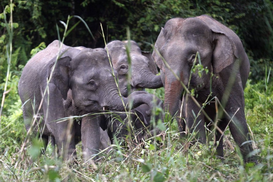 A file picture of Borneo pygmy elephants looking for food along the Kinabatangan river in Sabah on Feb 19, 2009. - Reuters/Bazuki Muhammad