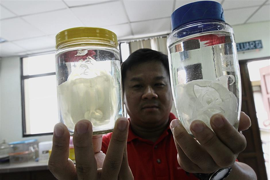A staff member of Cemacs showing jellyfish preserved in jars.