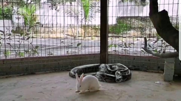 A screenshot showing the snake getting ready to feed on the rabbit.