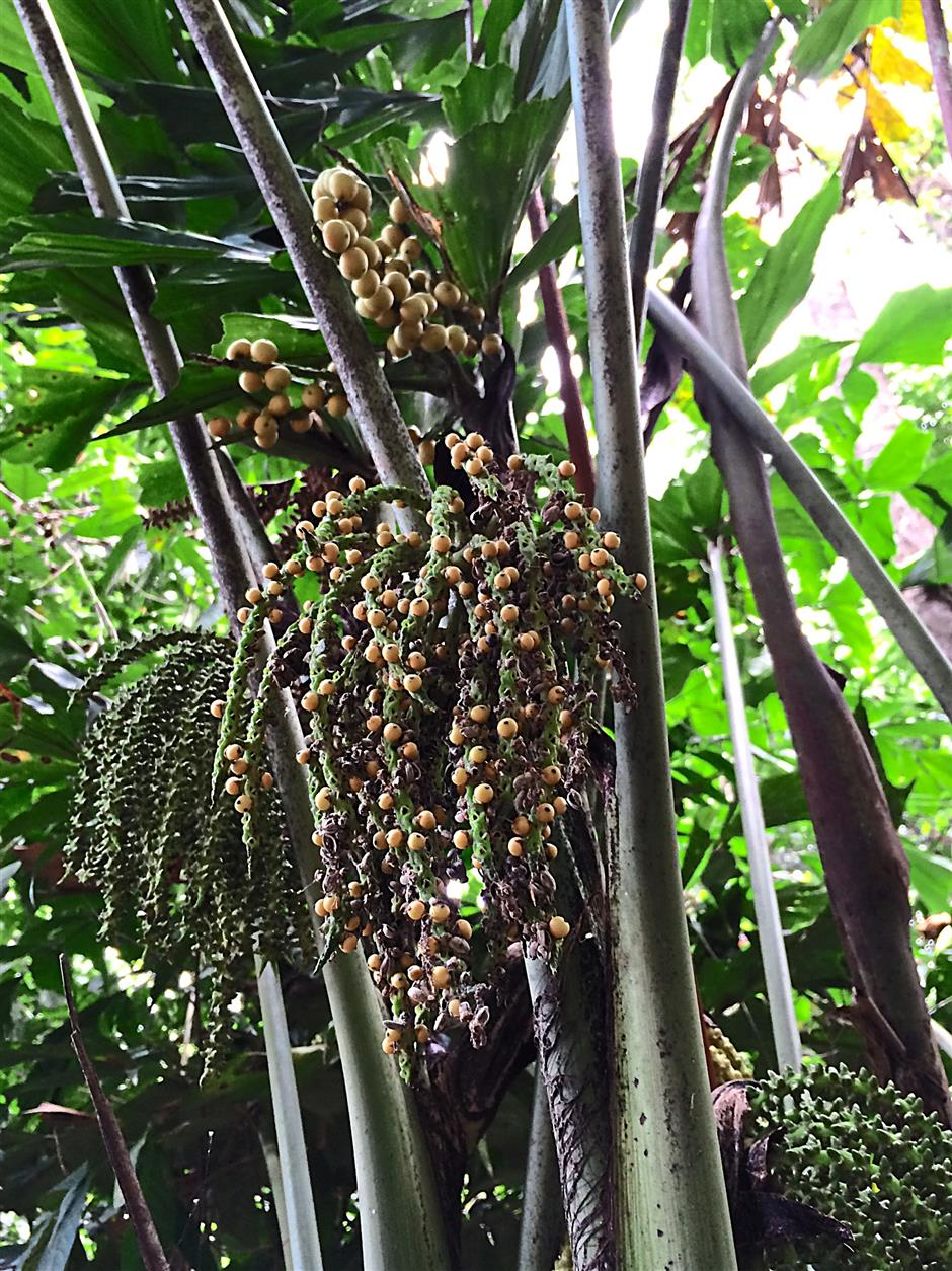 The fruits of Caryota mitis, a fishtail palm.