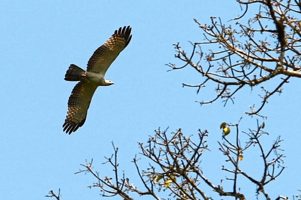 White bellied sea eagle seen flying above the Muda River, at the Ulu Muda Forest Reserve, Kedah.
