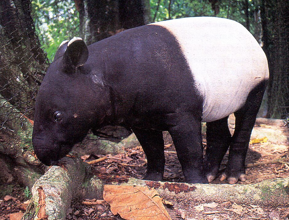 A juvenile tapir in Zoo Negara, with World Tapir Day being celebrated to instill greater concern and protection for this endangered species - Photo courtesy of Malaysian Nature Society.