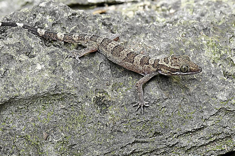 The Gua Kanthan bent-toed gecko (Cyrtodactylus guakanthanensis) is found only in Gua Kanthan, Ipoh.Note: scientific name should ge in italics.
