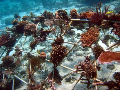 Underwater creation: Electrical currents have boosted the growth of coral fragments which have been attached to this Biorock steel structure located in Pemutaran in Bali, Indonesia. Scientists are testing the technology in Malaysia.