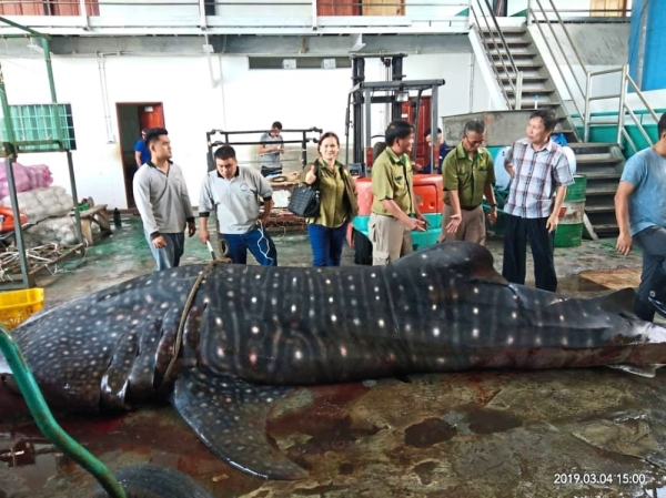 A huge whale shark found dead after being entangled in fishermen's nets offshore Miri.