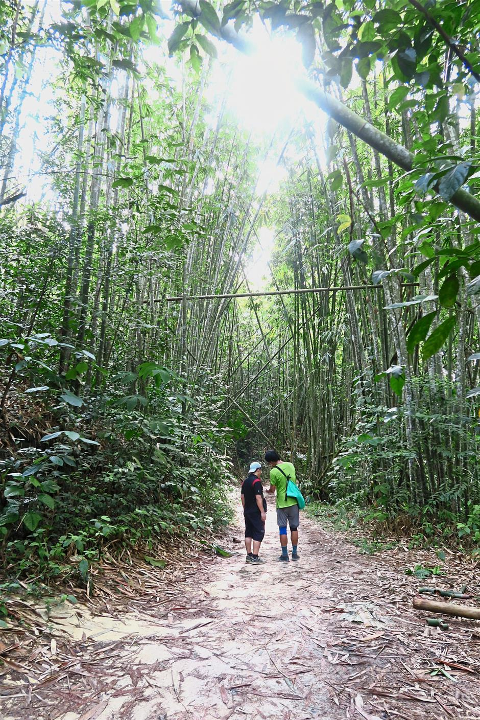 Tall bamboo trees make for a shady walk