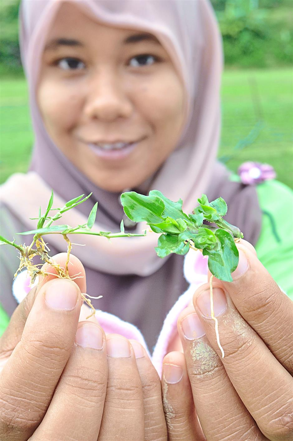 Nurturing future grass experts - Julia Sahira, 25, a UPM graduate pursues her fascination for turf grass working for Four Seasons.