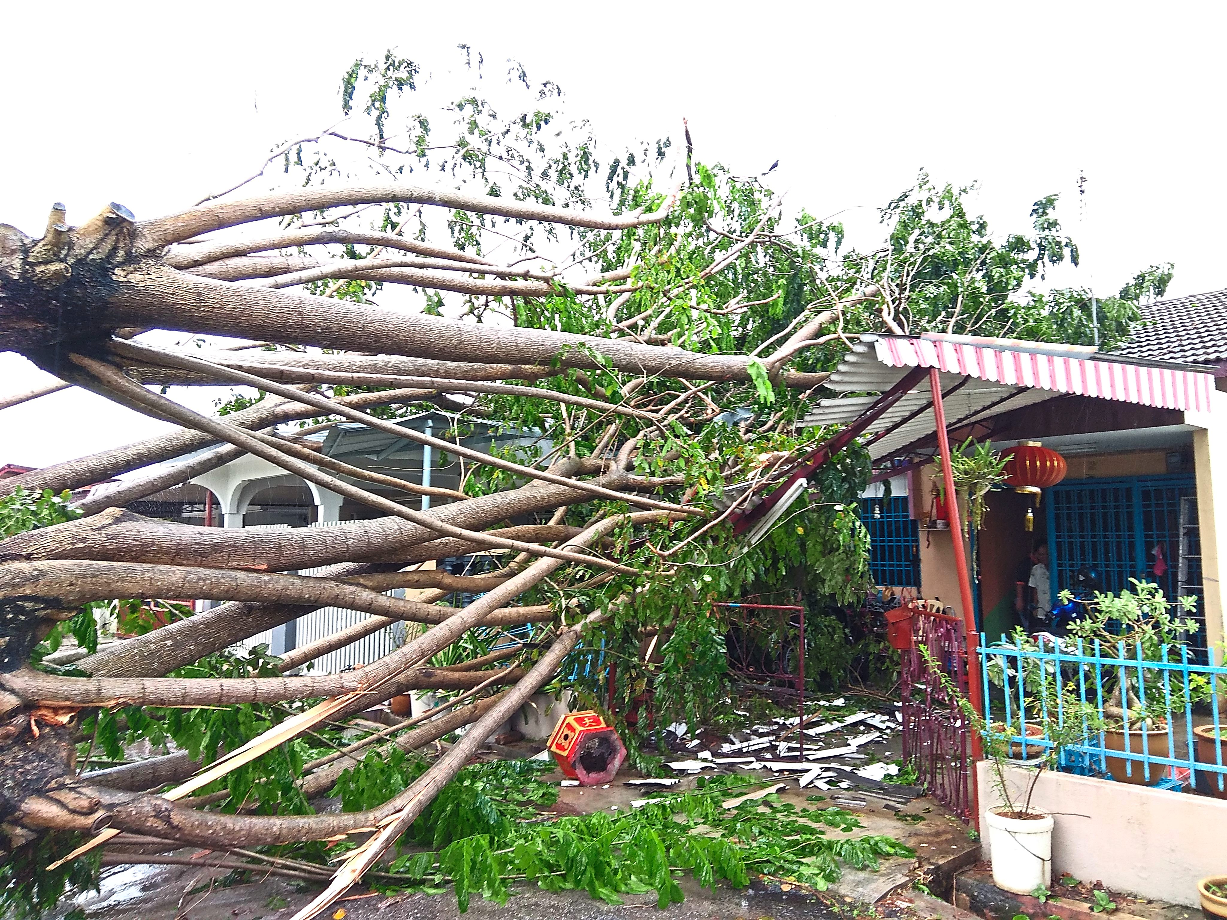 The tree that crashed on two houses in Lintang Muda, Klang. — Photos: SAM THAM/The Star