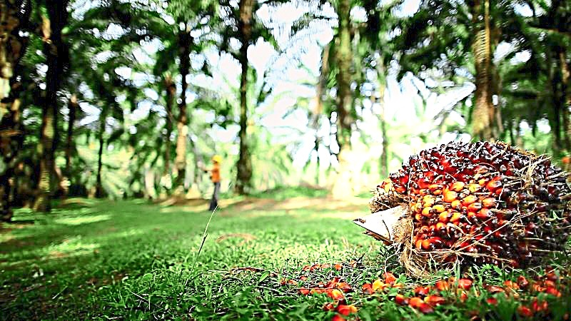 The experience of the European Palm Oil Alliance shows that consumers will have a more balanced position on palm oil once they understand that it is possible to produce the commodity in a sustainable manner. — Filepic