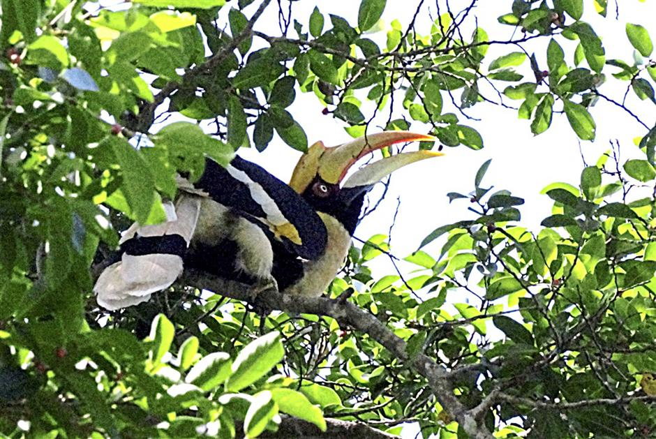 The great hornbill inhabits only mature forest as they nest in the trunks of tall trees. - Nur Atiqah Tahir