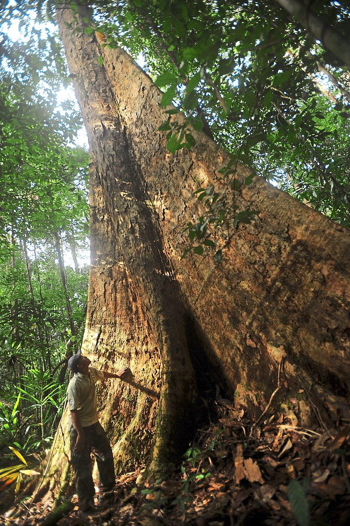 1 Various eco-tourism attractions within HoB are planned to maintain the green forests as well as provide for the local community. 2 One of the magnificent century-old trees at Imbak Canyon forest reserve, Sabah. – filepics