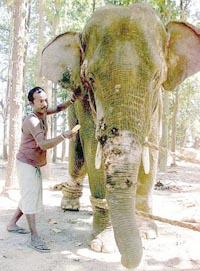 p16elephant