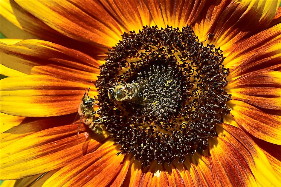 Bees gather pollen from the flower head of a sunflower in Levico Terme near Trento in northern of Italy