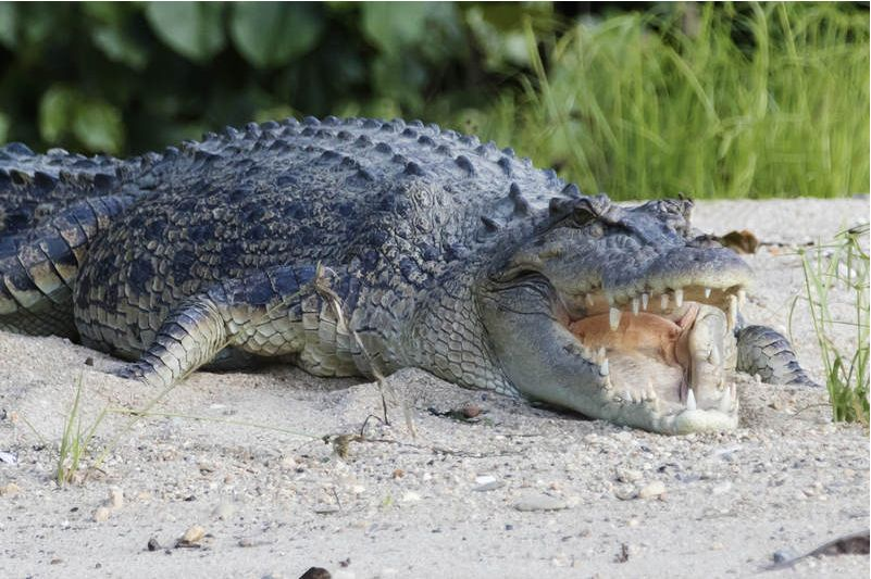 A file photo showing a saltwater crocodile on the bank of the Daintree River, north Queensland, Australia, on October 27, 2016. (Credit Image: u00a9 Hal Beral/VW Pics via ZUMA Wire) Photo: Hal Beral/dpa