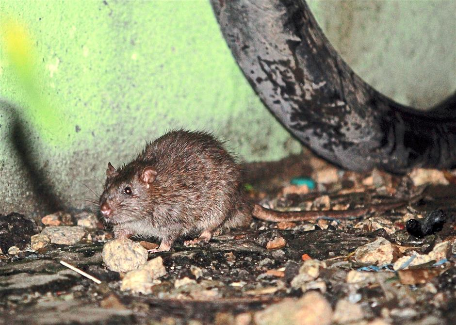 Rats can spread diseases like Typhus, viral and bacterial infection to humans and is also one of the causes of leptospirosis