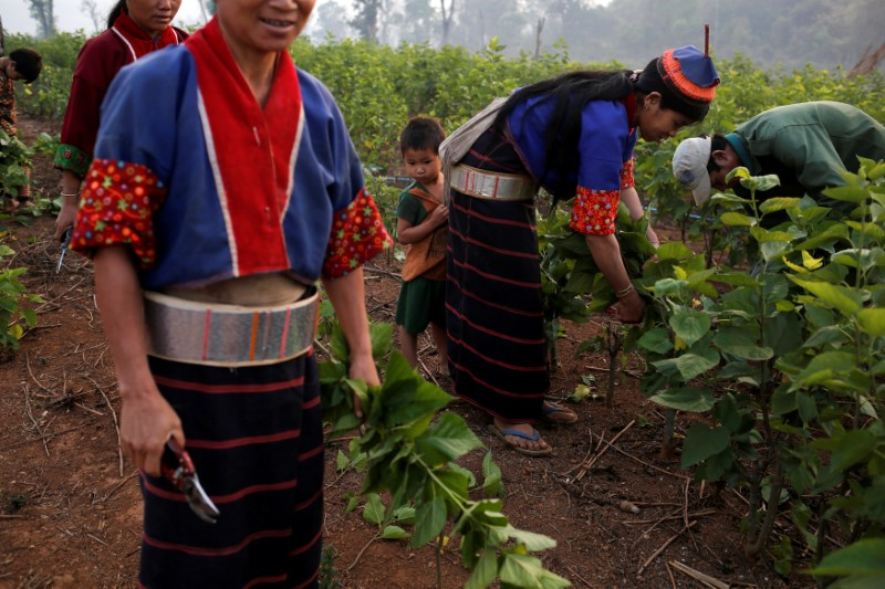Ethnic Palaung workers collect mulberry leaves to feed silkworms in Wanpaolong village in Lashio District, northern Shan State, Myanmar, April 24, 2018. REUTERS/Ann Wang