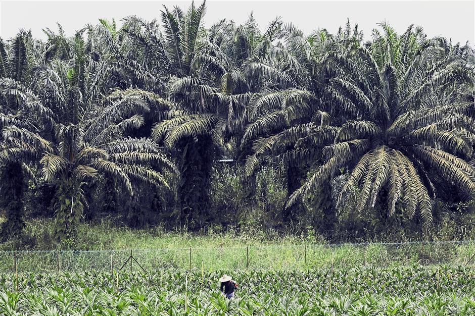 Non-event: A worker in a seedling plot at the Malaysian Palm Oil Board research plantation in Kluang, Johor recently. Budget 2019 is deemed a non-event for the plantation sector, according to Kenanga Research. — Bloomberg