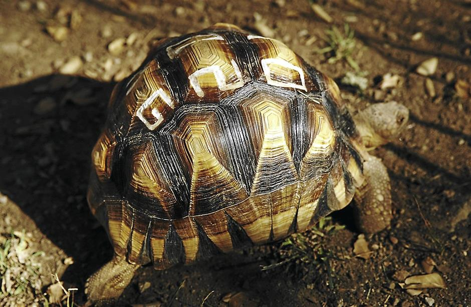 A tortoise sports a defaced shell at the Turtle Conservancy's Behler Chelonian Center in Los Angeles on January 14, 2014. The shells are defaced to reduce their value on the black market, and the permanent marking also makes it easier for law enforcement authorities to trace them. (Al Seib/Los Angeles Times/MCT)