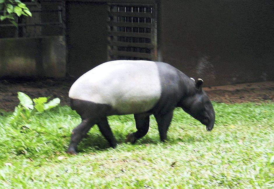 A Tapir
