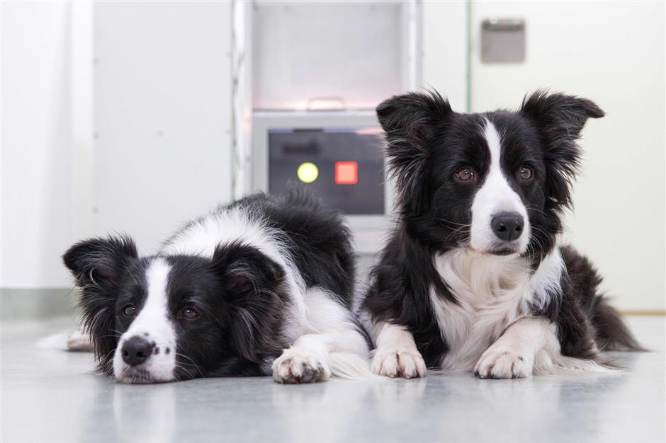 Border Collies Miley and Tiara are pictured during a touchscreen experiment at the University of Veterinary Medicine in Vienna on February 26, 2018. The results gathered after hundreds of dogs took part in a study at Vienna\'s University of Veterinary Medicine suggest that older dogs benefit from similar games, just as Sudoku and other brain exercises can help their owners stay mentally agile. / AFP PHOTO / ALEX HALADA