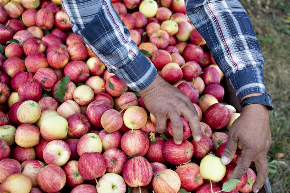 A worker places freshly picked Gala apples into a crate at the Rasch Family Orchards farm in Grand Rapids, Michigan, U.S., on Tuesday, Sept. 26, 2017. Michigan growers have over 9 million apple trees in commercial production, covering 36,500 acres on 850 family-run farms throughout Michigan\'s lower peninsula. Photographer: Daniel Acker/Bloomberg