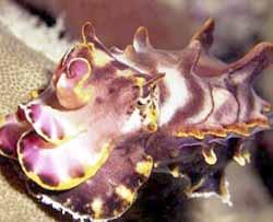 p22cuttlefish