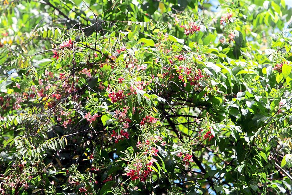 Medicine tree: Rangoon Creeper (Combretum indicum) is said to have medicinal values.