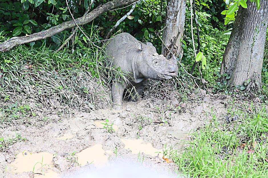 Rhinos wallow in the mud to cool off and to obtain vital minerals which help them deworm and heal wounds. - Photo from Yayasan Sime Darby